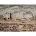 Boxer dog white lulu bed