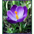 Crocus crocuses