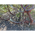 oakland hucklefph2 park huckleberry trail nature manzanita