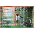 reflectionthursday mother daughter Merganser May 2012