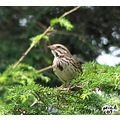 Chirping Sparrow scolding us. This was a beautifl weekend here. Great weather to get some outsid...