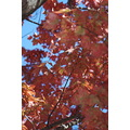 autumn fall leaves foliage newengland usa provincetown capecod massachusetts