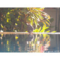 Reflectionthursday bird dove drinking water pool villas bali littleollie