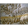 stone petrified fern leaf leaves plant ancient prehistoric museum closeup