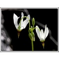 shootingstar wildflower waterfall nature white