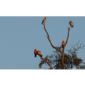 birds galahs trouble waking tree perth hills littleollie