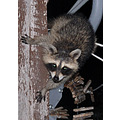 raccoon bandit masked night hartville missouri 2001