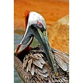 Pelican close-up