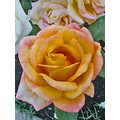 roses morcom oakland rgardenfphmay09 amphitheater rose may spring