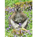 Wallaby in the bluebell woods