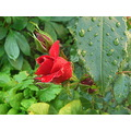 rose flower nature red