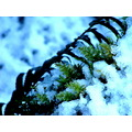 ferns in the thaw