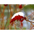 snow weed sumac berries