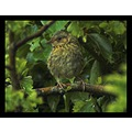 nature bird dunnock feathers carlsbirdclub