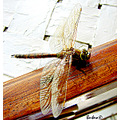 dragonfly insects nature chile