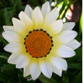 sunflower gazania yellowfph