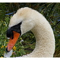 Preening mute swan wildfowl birds nature Barnes Wetland Centre London