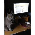 british shorthair cat feline animal mammal pet family computer fotothing