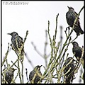 nature bird starlings starling feathers
