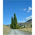 Poplar trees, Awatere Valley, Marlborough, NZ.