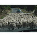 sheep cantralotago