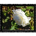 Rose White Plant Flower Aloha Oregon