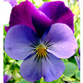 flowers chile violas nature