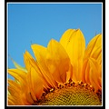 flower sunflower yellow petals colour nature somersetdreams