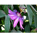 passion flower blue garden home alora andalucia malaga spain