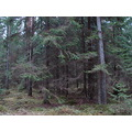 latvia autumn daugmale nature tree forest trees landscape pine