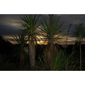 sunset cabbage trees