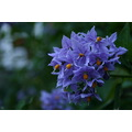 flower blue Chilean potato plantSolanum crispum glasnevin