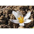 Reborn Spring Flower Iran Nature