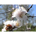 flowers apricot spring