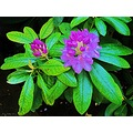 Rhododendron Pink Blue Blooming Skane Sweden My Garden May 2012