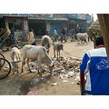 Nepal Janakpur Travel Tourist Weesue Fixit Rubbish Trash Cattle