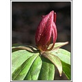 happyfriday wakerobin sessiletrillium wildflower magenta nature
