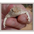 OK Laurie here are a few HT's for you. That's correcamino holding a Desert horned lizard.
