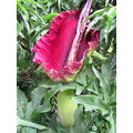 Dracunculus vulgaris smell series