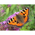 orange butterfly budleia