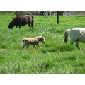 miniature horse pony cute