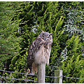 Owl large scotland predator