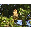 long eared owl bird of prey