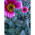 flower colours pink blue macro colourful nature