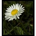 nature flower daisy macro