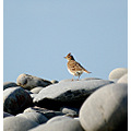 skylark northam burrows carlsbirdclub bird