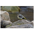 Nature Wildlife Bird Grey Wagtail River