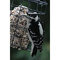 Downy Woodpecker birds Burnaby BC Canada
