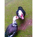 2008 madeira island portugal prazeres zoo garden ducks cute fun