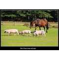 New Forest pony and pigs roaming free
